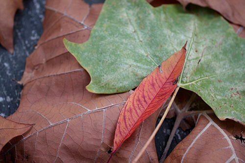 ramasser-feuilles-mortes-chiro-hull-gatineau